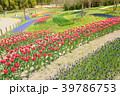 春 花 チューリップの写真 39786753