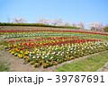 春 チューリップ 桜並木の写真 39787691