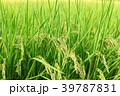 稲穂 稲 稲作の写真 39787831