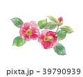 花 椿 ツバキ科のイラスト 39790939