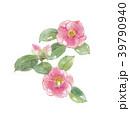 花 椿 ツバキ科のイラスト 39790940