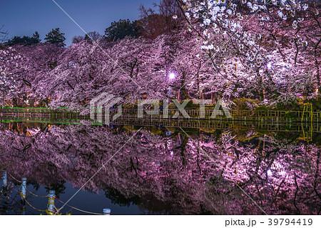 井の頭恩賜公園(井の頭公園)の夜桜 39794419