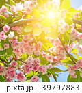 桜 サクラ 花の写真 39797883