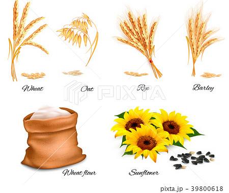 Ears of wheat, oat, rye, sunflower and barley.  39800618