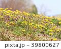 春の公園 タンポポの花 39800627