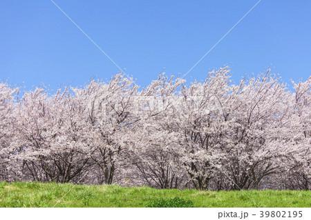 桜の木と草原 39802195