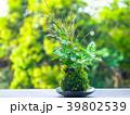 苔玉 植物 苔の写真 39802539