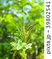 苔玉 苔 植物の写真 39802541