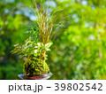 苔玉 苔 植物の写真 39802542