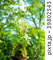 苔玉 苔 植物の写真 39802543