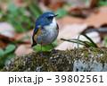 ヒタキ科 オス 瑠璃鶲の写真 39802561