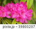 花 石楠花 シャクナゲの写真 39803207