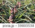 パイナップル ピーチパイン パインの写真 39803538