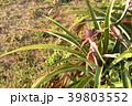パイナップル パインアップル ピーチパインの写真 39803552