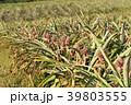 パイナップル ピーチパイン パインの写真 39803555