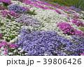 花 芝桜 ハナシノブ科の写真 39806426
