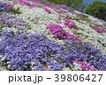 花 芝桜 ハナシノブ科の写真 39806427