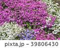 花 芝桜 ハナシノブ科の写真 39806430