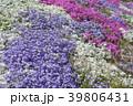 花 芝桜 ハナシノブ科の写真 39806431