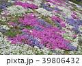 花 芝桜 ハナシノブ科の写真 39806432