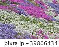 花 芝桜 ハナシノブ科の写真 39806434