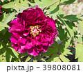 牡丹 花 富貴花の写真 39808081