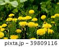 植物 セイヨウタンポポ 花の写真 39809116