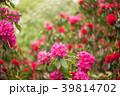シャクナゲ 花 石楠花の写真 39814702
