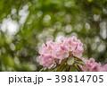 シャクナゲ 花 石楠花の写真 39814705