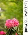 シャクナゲ 花 石楠花の写真 39814707