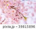 八重桜 春 桜の写真 39815896