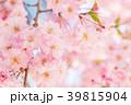 八重桜 春 桜の写真 39815904