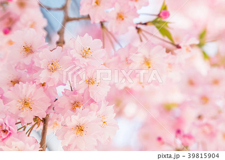 満開の桜 39815904