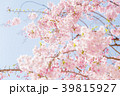 八重桜 春 桜の写真 39815927