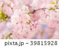 八重桜 春 桜の写真 39815928