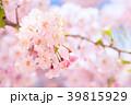 八重桜 春 桜の写真 39815929