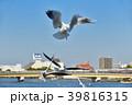 鴎 ユリカモメ 鳥の写真 39816315