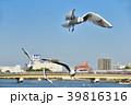鴎 ユリカモメ 鳥の写真 39816316