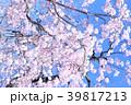 枝垂れ桜 39817213