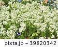 神奈川県横浜市里山ガーデン!ソルベ×Pホワイトの花畑 39820342