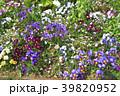 神奈川県横浜市里山ガーデン!花畑のフレアブルー・フレアレッド 39820952