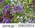神奈川県横浜市里山ガーデン!花畑のフレアブルー・フレアレッド 39820954