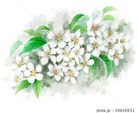 水彩で描いたりんごの花 39826631