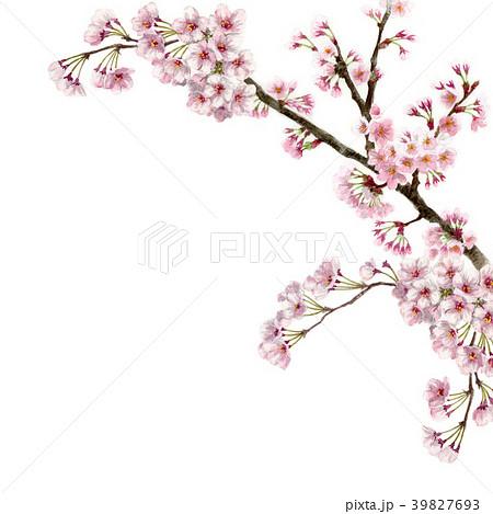 水彩で描いた桜のフレーム素材 39827693