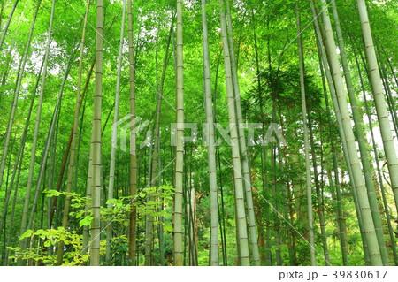 岩手県 中尊寺の竹林 39830617