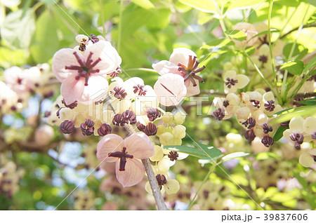アケビの花a 39837606