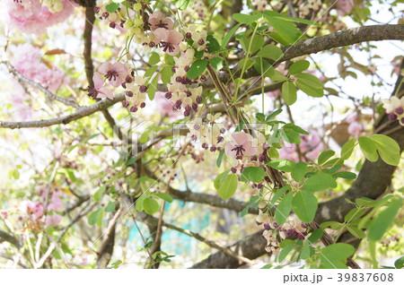 アケビの花c 39837608