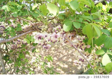 アケビの花d 39837609