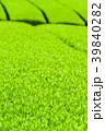 新緑の茶畑 39840282