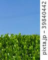 新緑の茶畑 青空 39840442